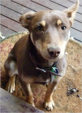 This is my dog Molly, she is a purebred kelpie and she is 3 years old.